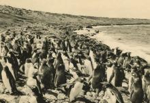 Silver Gelatin Penguins in Galapagos Islands 1950's