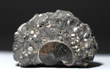 Late Cretaceous Sphenodiscus Ammonite with Shells