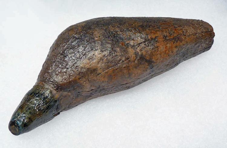 Complete Prehistoric Sperm Whale Tooth