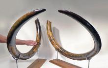 Investment-Grade Woolly Mammoth Tusks (pr)