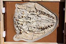 Massive Mosasaurus Prognathodon Fossilized Skull