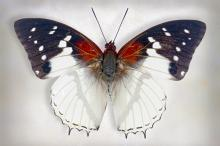 Hadrians White Charaxes by Richard Reynolds