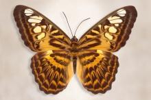 Clipper Butterfly by Richard Reynolds
