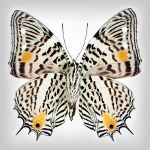 Clown Butterfly underside by Richard Reynolds