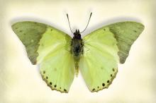 Common Green Charaxes by Richard Reynolds