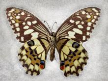 Checkered Swallowtail by Richard Reynolds