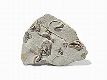 Multiple Crinoid Plate, Indiana, Mississippian