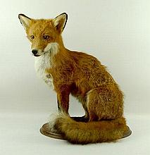 Taxidermy: a fox, modelled seated, on an oval oak base, 50 by 30 by 53cm high.