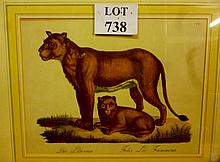 A framed and glazed 19c plate depicting lioness and cub and their Latin names below est: £40-£60