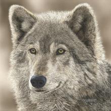 Judy Larson - The Play Wolf