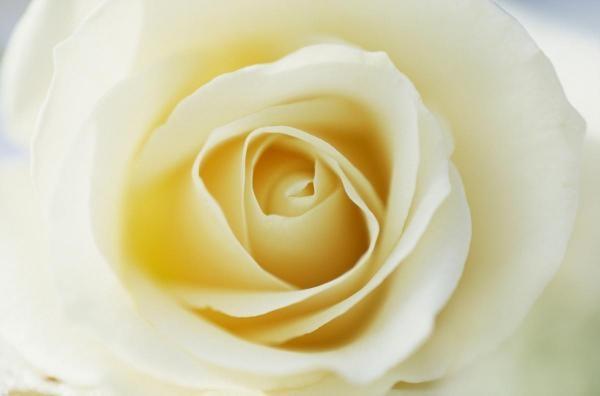 Jan Vermeer - Rose Close Up Of White Rose In Bloom