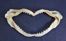 SHARK JAW - APPROX. 7