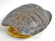 RED EARED SLIDER TURTLE SHELL