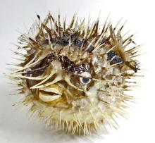 PORCUPINE PUFFER FISH WITH SHARP SPIKES