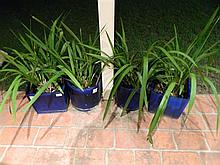 Four potted orchids in blue glazed pots