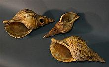 Three Conch Shell Trumpets