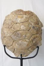 Pre-Historic fossilized Turtle- on stand