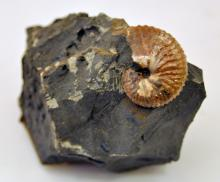 Opalized ammonite specimen fossil