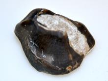 Titanotherm fossil prehistoric tooth