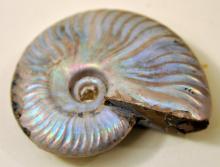 Ammonite opalized Madagascar fossil