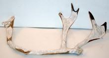 Carved caribou horn-detailed