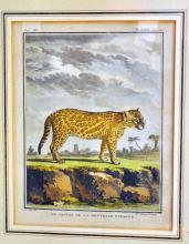 Jaguar hand colored plate/Eli Haussard