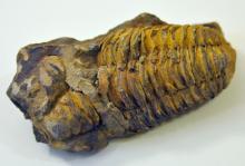 Morrocan trilobite natural fossil