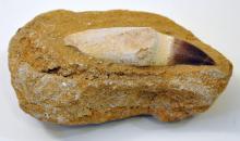 Dinosaur tooth fossil/masosaur