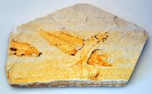 Ancient fish fossil plate