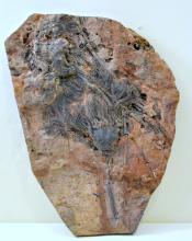 Crinoid fossil specimen/plate