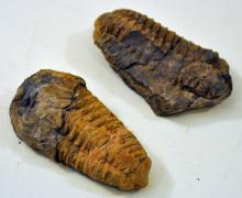 Morrocan fossil trilobites/ancient animal