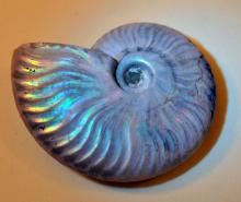 Opalized ammonite fossil iridescent