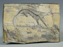 Therapod Dinosaur Fossil