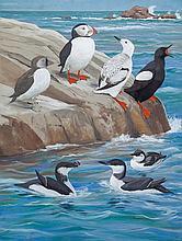 Birds of the Auk Family