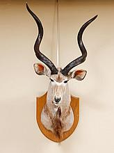 HUNTING TROPHY - KUDU HEAD
