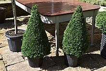 A Healthy And Well Maintained Pair Of Medium Box Cones