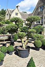 A Substantial, Well Established And Healthy Cloud Olive Tree