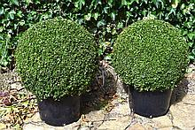 A Pair Of Healthy And Well Maintained Large Box Balls