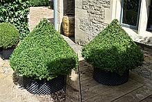 A Healthy And Well Maintained Pair Of Large Box Cones