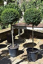 A Healthy And Well Maintained Pair Of Privet Half Standard Trees