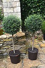 A Healthy And Well Maintained Pair Of Privet Quarter Standard Trees