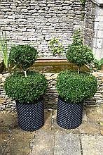 A Healthy And Well Maintained Pair Of Double Etage Box Trees