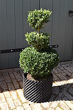 A Healthy And Well Maintained Triple Etage Box Tree