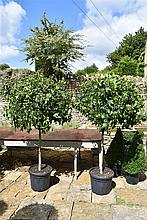A Healthy And Well Maintained Pair Of Liquid Amber Trees