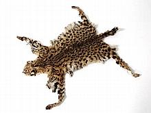 Taxidermy: A Serval cat skin, approximately 36
