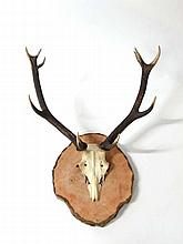 Taxidermy: A large mounted pair of 10 point (5+5)