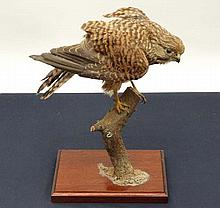 Taxidermy: A mid 20thC mount of a crouching