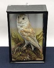 Taxidermy: A late 19thC cased mount of a Barn Owl
