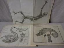Three Animal Anatomy Book Plate Etchings