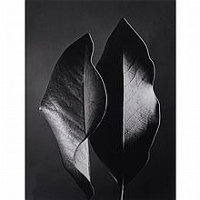 BERNHARD, RUTH (1905-2006) [Two Leaves, Hollywood, 1952]. Gelatin silver print mounted to card, 11 x 8 1/4 inches (277 x 210...